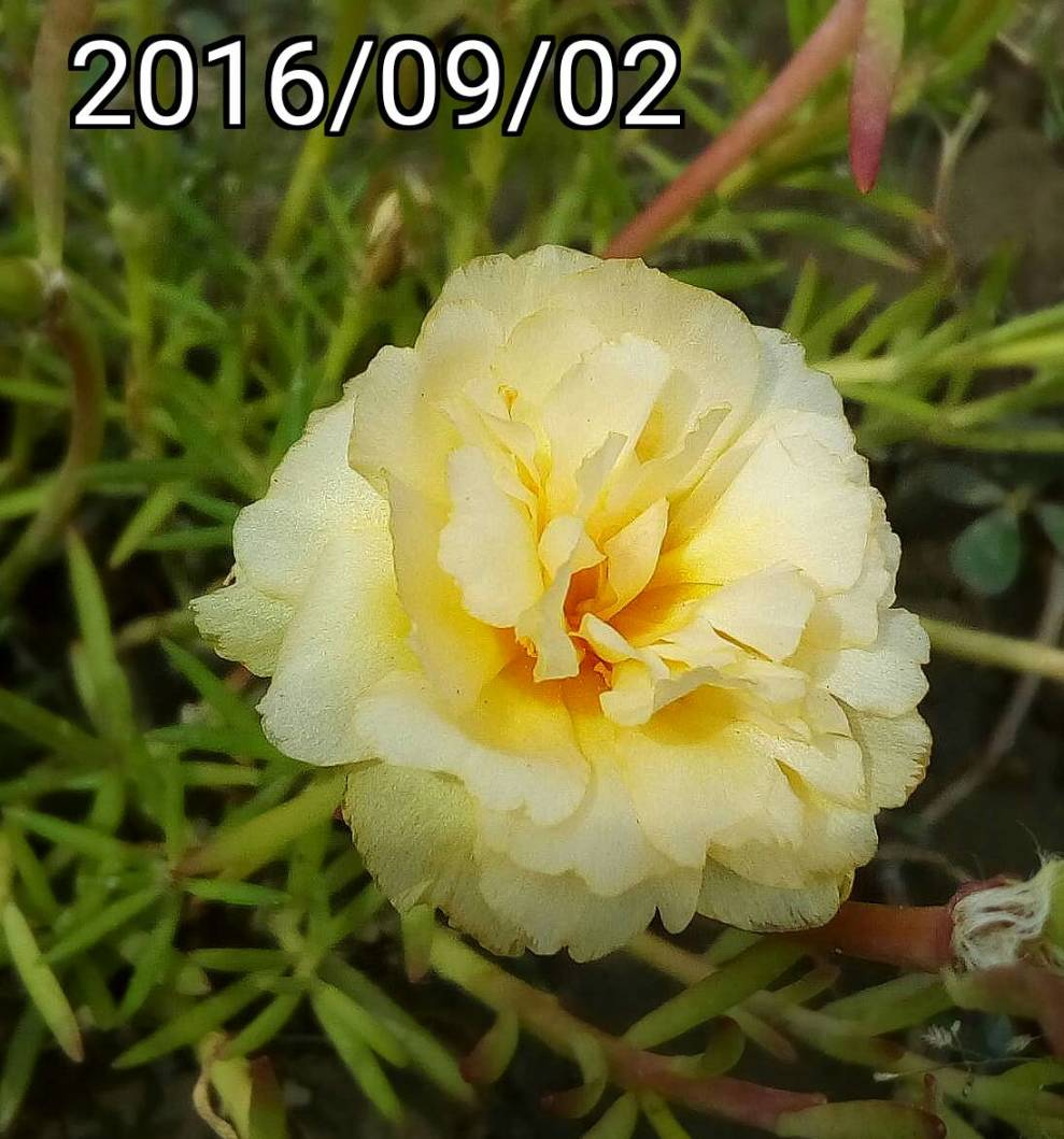 複瓣黃白松葉牡丹 multi-petalled yellow white Portulaca pilosa, kiss-me-quick, hairy pigweed